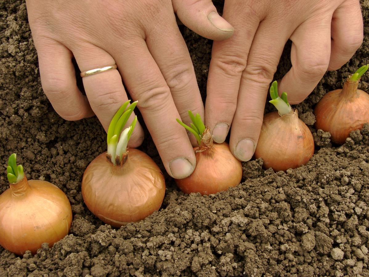 Как и когда сажать картофель весной 2017: благоприятные дни 22